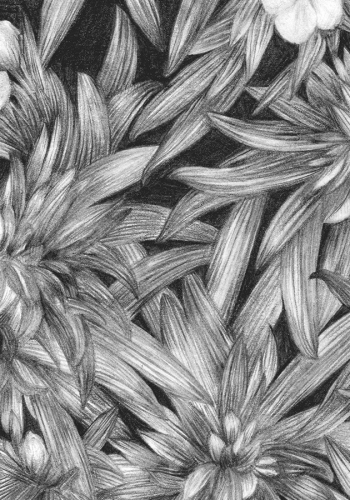 zoomed in image of flowers pencil drawing  by Shelley Steer