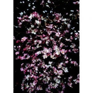 Pink Flowers on black background art print by we are amused 30 x 40